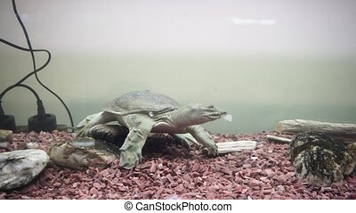 Chinese softshell turtle trionyx. Feeding time. 4k...