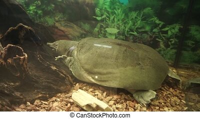 Chinese softshell turtle trionyx sleeps at the bottom of the...