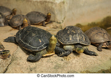 Chinese stripe-necked turtles have series of black yellow ...