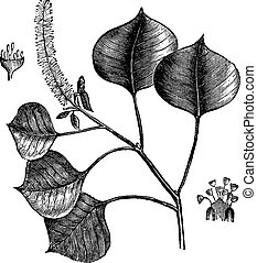 Chinese tallow tree or Sapium sebifera vintage engraving