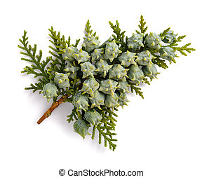 Chinese thuja with cones isolated on white