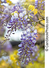Chinese Wisteria or Wisteria sinensis flowering in spring