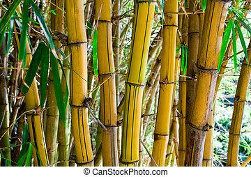 chino, bambú
