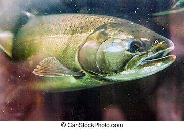 Chinook Coho Salmon Close Up Issaquah Hatchery Washington...
