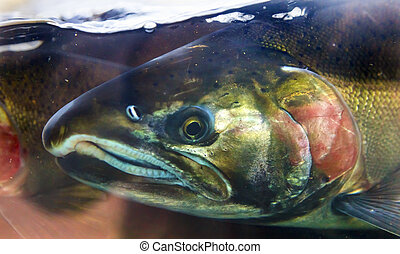 Chinook Coho Salmon Close Up Issaquah Hatchery Washington...
