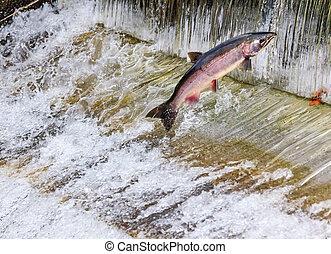 Chinook Coho Salmon Jumping Issaquah Hatchery Washington...