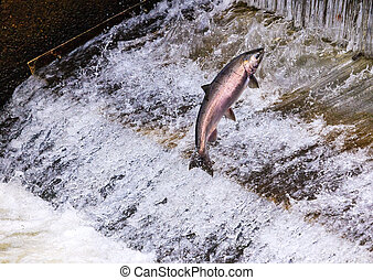 Chinook Coho Salmon Jumping Issaquah Hatchery Washington...
