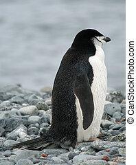 chinstrap, 4, pingvin