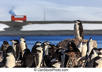 Chinstrap crowd - Chinstrap penguins, Half Moon island,...