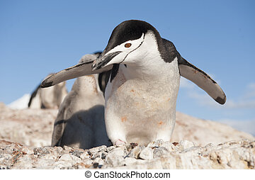 Chinstrap Penguin in Anatcrtica - Chinstrap penguin on blue...