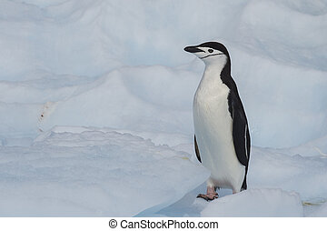 Chinstrap Penguin on the ice - Chinstrap Penguins on the ice...