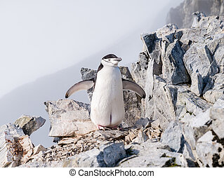 Chinstrap penguin, Pygoscelis antarcticus, on Spigot Peak...