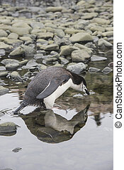 Chinstrap Penguin reflection in the water, travel to...