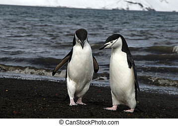Chinstrap Penguins - Chinstrap Penguin in Antarctica