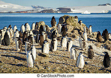 Chinstrap penguins colony - Half Moon Island Chinstrap...