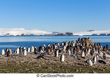 Chinstrap penguins colony members gathered on the rocks,...