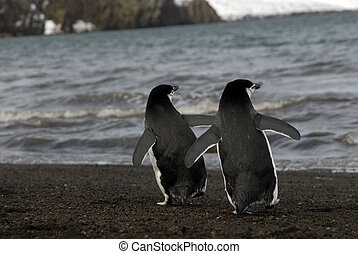 Chinstrap Penguins in Antrctica