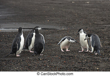 Chinstrap Penguins on the beach Deception Island in...