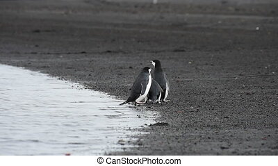 Chinstrap Penguins on the beach n Antarctica