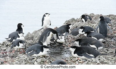 Chinstrap Penguins on the nest n Antarctica