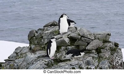 Chinstrap Penguins on the nest in Antarctica