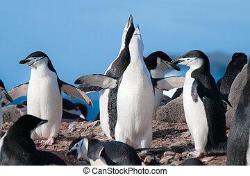 Chinstrap penguins singing