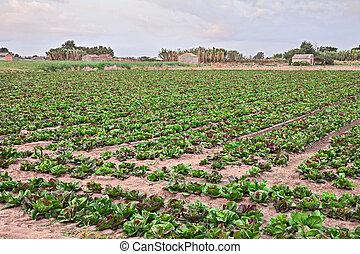 Chioggia, Venice, Italy: field of radicchio of Chioggia, variety of Italian chicory