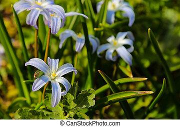 chionodoxa, azul, gigante, forbesii, glória, primavera, neve, flowers., ou