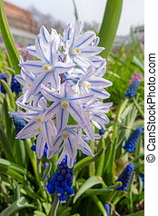 chionodoxa in the spring