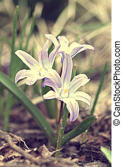 Chionodoxa luciliae (Scilla luciliae) flowers