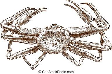 chionoecetes, dibujo, grabado, ilustración, opilio, cangrejo