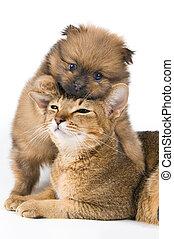 chiot, de, les, spitz-dog, à, a, chat