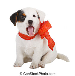 chiot, jack russell
