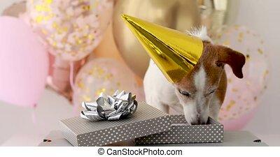 chiot, odeurs, récipient, russell, chapeau anniversaire, cric, terrier