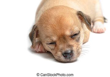 chiots, blanc, chihuahua, fond, dormir
