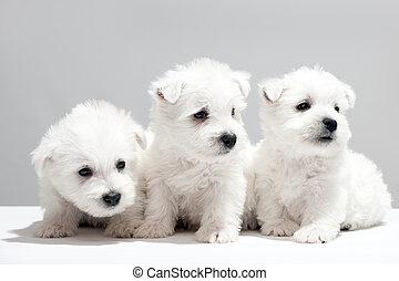 chiots, blanc, trois, ensemble, reposer