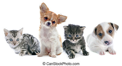 chiots, chaton