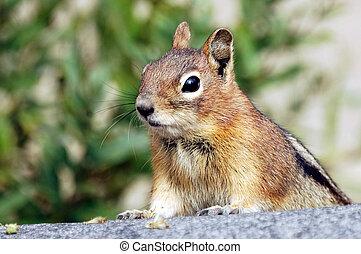 A curious chipmunk peeking over a rock