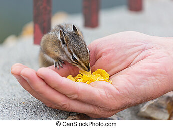Chipmunk - American chipmunk eats from hand