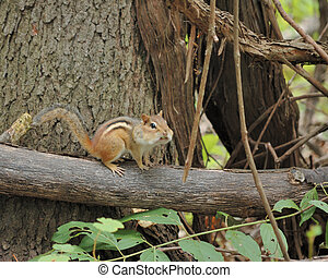 An eastern chipmunk perched on a tree branch.
