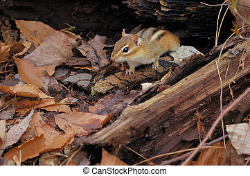 Chipmunk - An eastern chipmunk perched under a tree log.