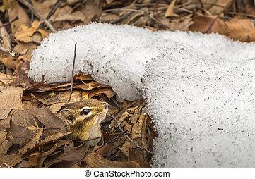 Chipmunk  - chipmunk in winter