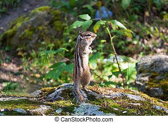 chipmunk - Chipmunk standing on hind legs