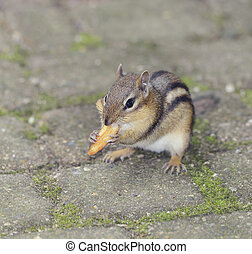 Chipmunk, Close Up