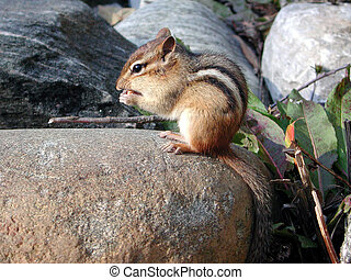 chipmunk close up eating nut