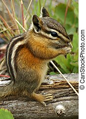 Chipmunk eating berries or nuts, Yellowstone National Park, Wyoming, U.S.A.