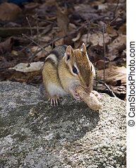 This is a picture of the chipmunk that likes to eat peanuts I give him