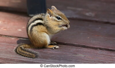 Chipmunk eats. - Chipmunk eats a bean. Side view.