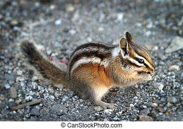 Chipmunk - Image of an eating chipmunk in Yosemite National...