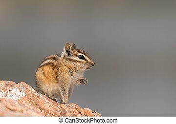 Chipmunk in cute pose on a rock